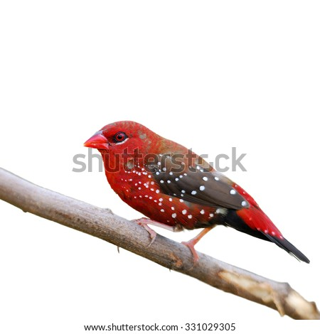 Closeup red bird,a male Red Avadavat on breeding plumage isolated on white background (Amandava amandava)