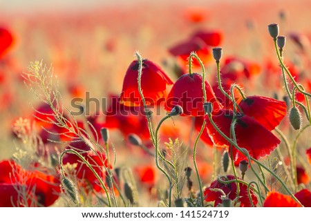 closeup red poppies at the morning - stock photo