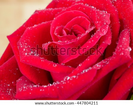 Closeup red rose flower with water dew drops