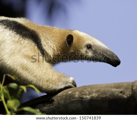 Closeup right side portrait of Giant Anteater from climbing on limb, ; Giant Anteater on Limb; Giant Anteater climbing on limb - stock photo