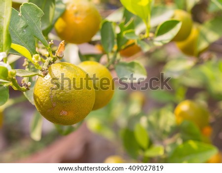 closeup Ripe oranges on the tree in sunny day, and soft-focus background. (select focus front oranges) - stock photo