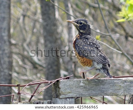 Closeup Robin Sitting On Wood Post Background - Baby robin bird leaves it's nest for first time and sit's on a wooden fence post in Ontario, Canada. American robin bird background photo. - stock photo