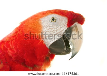 Closeup Scarlet macaws in nature on white background - stock photo