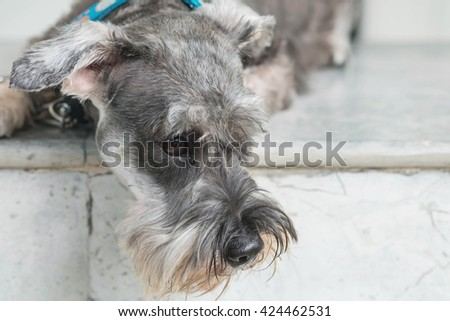 Closeup schnauzer dog lying on marble chair in front of house - stock photo