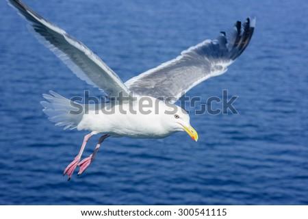 closeup seagull in Hokkaido, Japan. - stock photo
