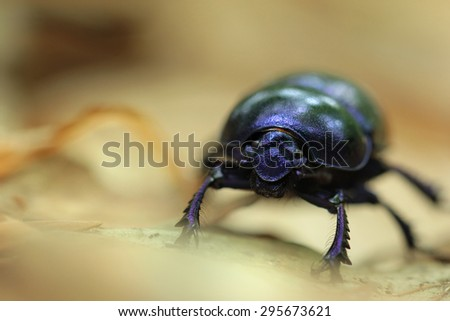 Closeup shot of a Black Forest dung beetle - stock photo
