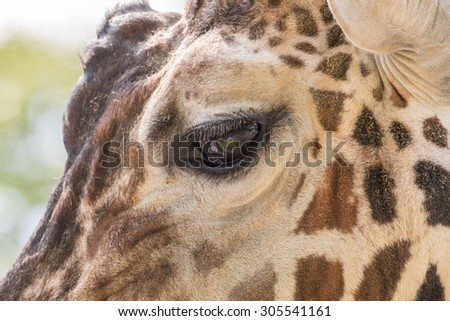 Closeup shot of a giraffe's eye and face - stock photo
