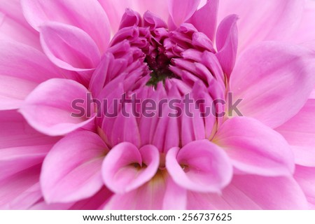 closeup shot of a pinkish purple dalia flower in fresh blossom - stock photo