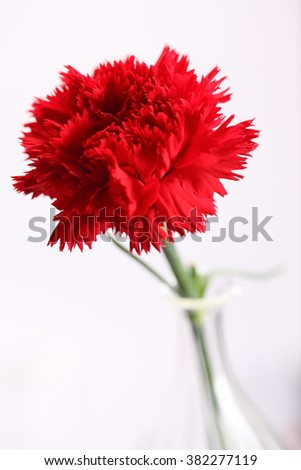 closeup shot of a red carnation flower in blossom on a fresh green stem