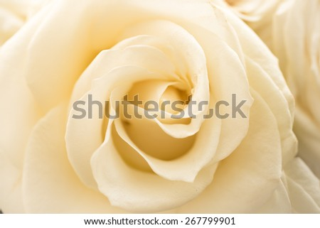 Closeup shot of beautiful white rose - stock photo