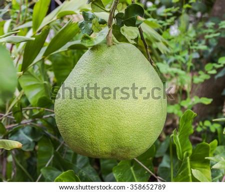Closeup shot of fresh Pomelo,a kind of big orange with famous fruit hang on pomelo tree. - stock photo