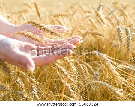 closeup shot of gold wheat at girl's hands - stock photo