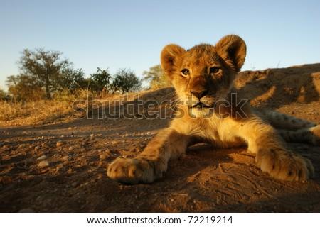 Closeup shot of Lion Cub, Kruger National Park, South Africa - stock photo