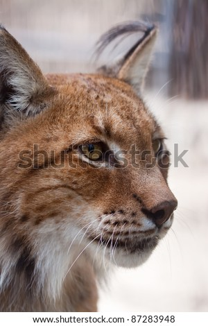 Closeup shot of lynx Head