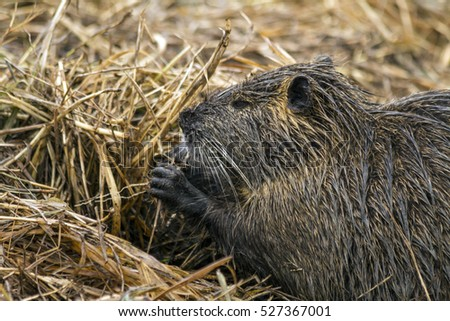 Closeup shot of Myocastor coypu, nutria, eating in Hula. Israel