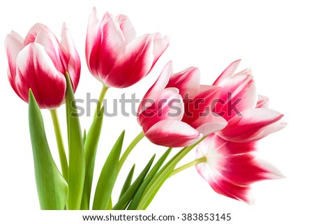 Closeup shot of pink tulips. Isolated on white background. - stock photo