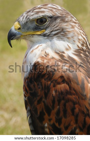 closeup shot of red tail hawk, with its brown plumage and yellow beak - stock photo