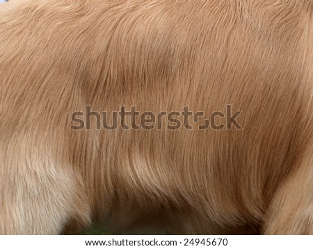 Closeup shot of the surface skin of  a Golden Retriever. - stock photo
