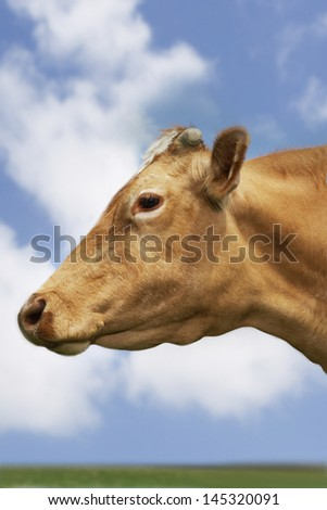 Closeup side view of a brown cow in field against sky and clouds