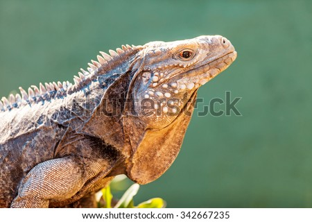 Closeup side view of alert Grand Cayman blue iguana (Cyclura lewisi) outdoors