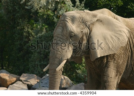 Closeup side view of an african elephant