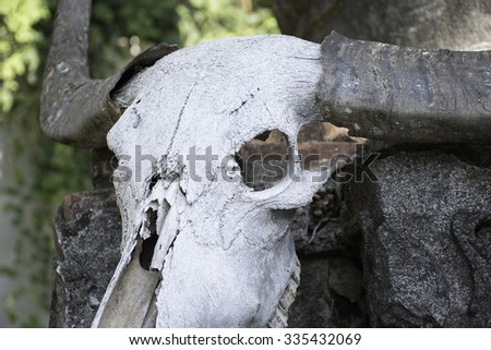 closeup  skull buffalo  on old concrete - stock photo