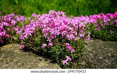 Closeup small bright pink moss phlox flowers