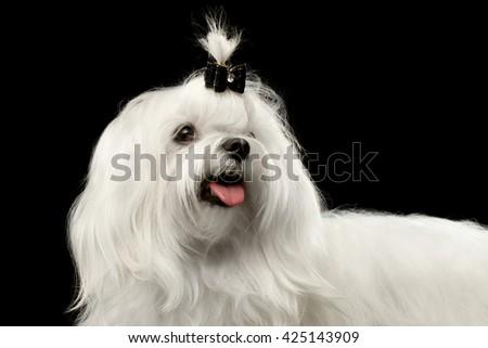 Closeup Smiling White Maltese Dog Looking up isolated on Black background - stock photo