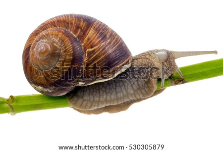 closeup snail creeping on stem, isolated on white