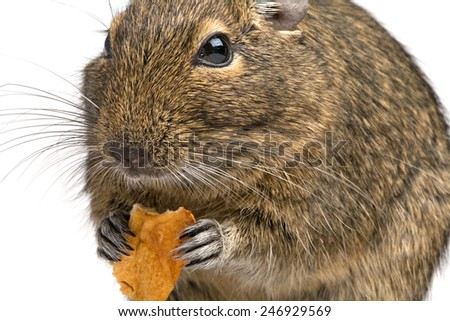 closeup snout portrait rodent taking a piece of food in its paws  - stock photo
