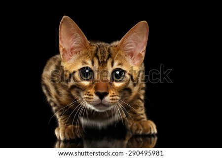 Closeup Staring Bengal Kitty Isolated on Black Background  - stock photo
