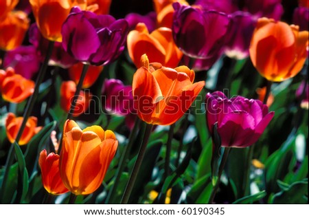 Closeup sun drenched field of purple and orange tulips. - stock photo