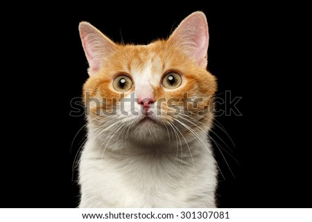 Closeup Surprised Ginger Cat Looking in camera on Black background  - stock photo