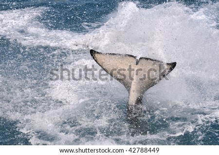 Closeup tail of an orca making big splash in water - stock photo