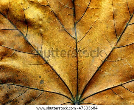 Closeup textured dry maple leaf for background