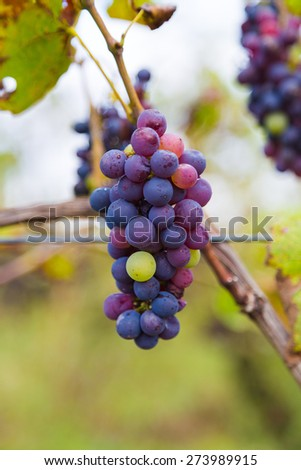 Closeup to organic Grapes at a Winery during the day - stock photo
