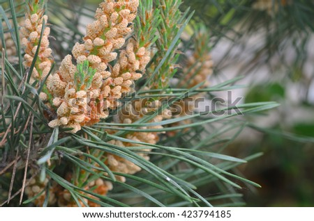 closeup to pine male inflorescence - stock photo
