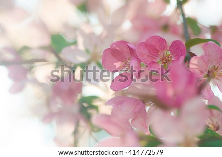closeup to spring apple tree  blossom