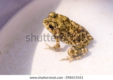 Closeup toad in Thailand