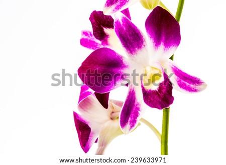 closeup vanda orchid on white background - stock photo