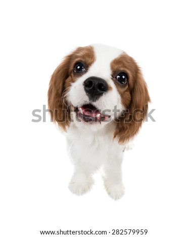 closeup vertical portrait pure-bred dog, puppy Cavalier King Charles Spaniel, on white background, isolated - stock photo