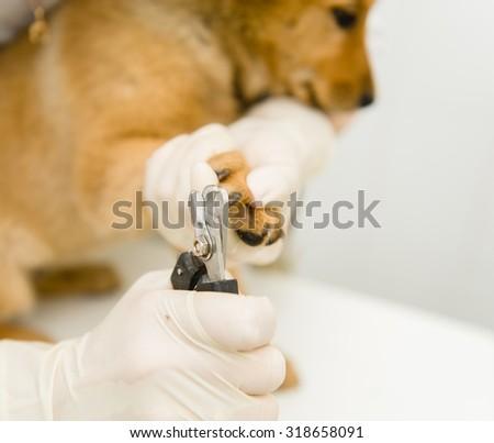 Closeup vet cutting dog toenails - stock photo