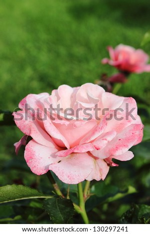 Closeup view of a beautiful pink rose
