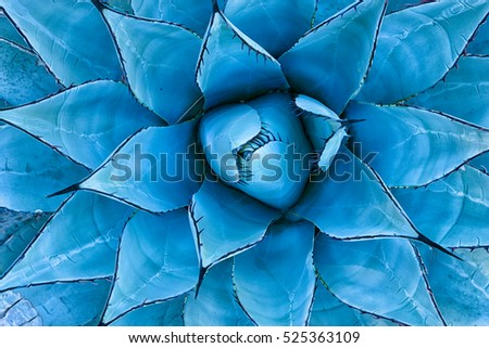 Closeup view of a blue agave plant as seen from directly above