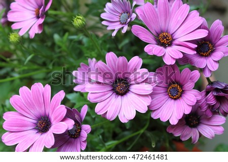 Closeup view of a bush of pink daisies