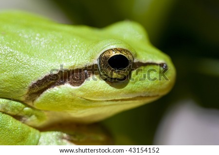 Closeup view of a common green european tree frog head.