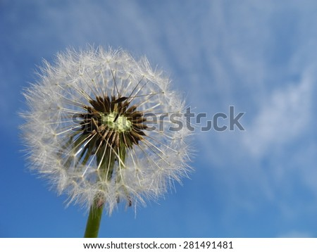 Closeup view of a dandelion (dandelion genus Taraxacum) with blue sky as background