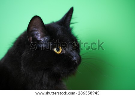 Closeup view of a domestic black cat with long hair against a green background
