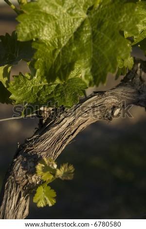 closeup view of a grape vine - stock photo