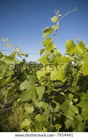 closeup view of a grape vine in an Australian vineyard - stock photo